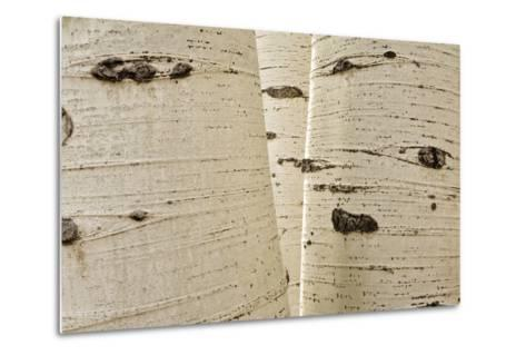 Aspens in Gunnison National Forest Colorado, USA-Charles Gurche-Metal Print