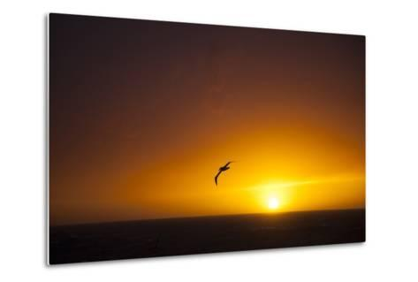 A Wandering Albatross at Sunset Near Elephant Island, Scotia Sea, Antarctica-Michael Melford-Metal Print