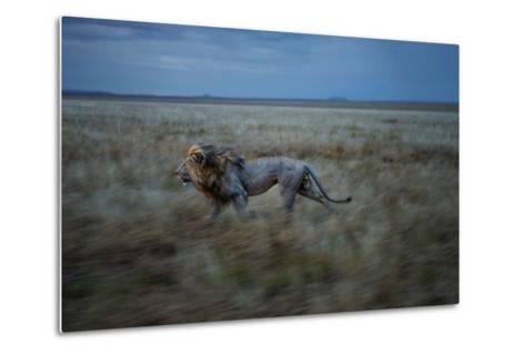 An Adult Male Lion, Hildur, Frequently Makes a Long Run to Visit the Simba East Pride-Michael Nichols-Metal Print