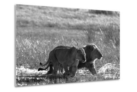 A Lion and Lioness, Panthera Leo, Walking Side by Side Through Flooded Grasses-Beverly Joubert-Metal Print