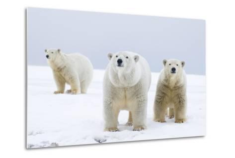 Polar Bear with Two 2-Year-Old Cubs, Bernard Spit, ANWR, Alaska, USA-Steve Kazlowski-Metal Print