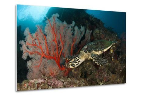 Close-Up View of a Hawksbill Sea Turtle Next to a Red Sea Fan, Indonesia--Metal Print