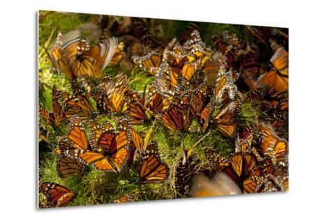 Monarch Butterflies, Danaus Plexippus, Drinking from Wet Grasses Along a Mountain Stream-Medford Taylor-Metal Print