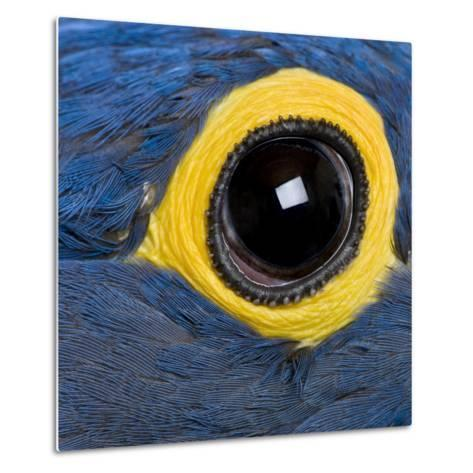 Hyacinth Macaw, 1 Year Old, Close Up On Eye-Life on White-Metal Print