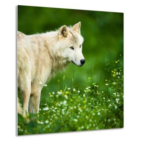 Arctic Wolf (Canis Lupus Arctos) Aka Polar Wolf Or White Wolf-l i g h t p o e t-Metal Print