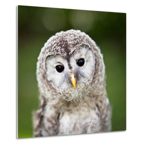 Close Up Of A Baby Tawny Owl (Strix Aluco)-l i g h t p o e t-Metal Print