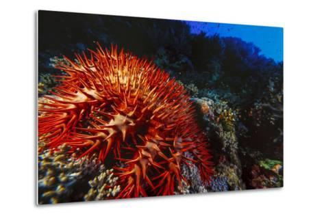Crown-Of-Thorns Starfish at Daedalus Reef, Red Sea, Egypt-Ali Kabas-Metal Print