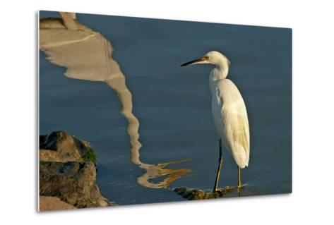 Portrait of a Snowy Egret, Egretta Thula and a Reflection in Water-Medford Taylor-Metal Print