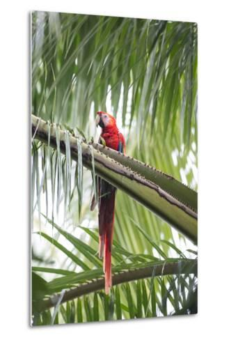 A Scarlet Macaw Perching in a Palm Tree-Michael Melford-Metal Print