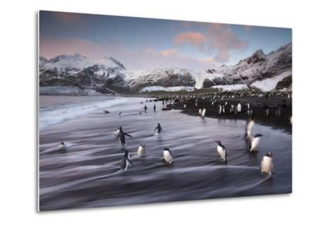 King Penguins Along the Shore at Gold Harbour on South Georgia Island-Michael Melford-Metal Print