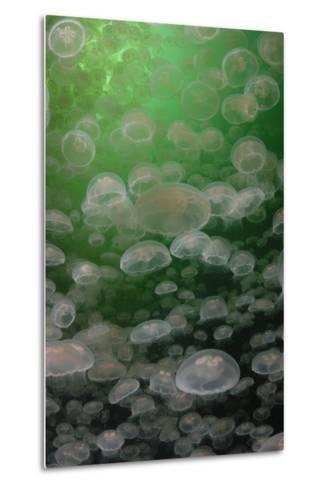 A Swarm of Moon Jellyfish, Aurelia Aurita-Jeff Wildermuth-Metal Print