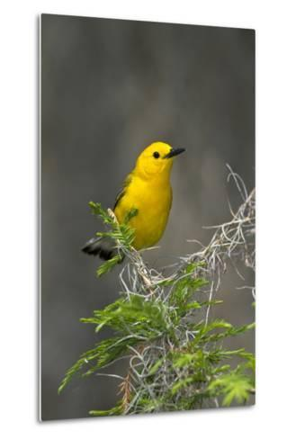 Prothonotary Warbler Male on Breeding Territory, Texas, USA-Larry Ditto-Metal Print