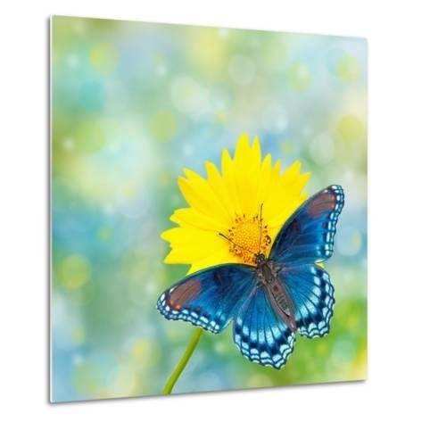 Red-Spotted Purple Admiral On Yellow Coreopsis Flower-Sari ONeal-Metal Print