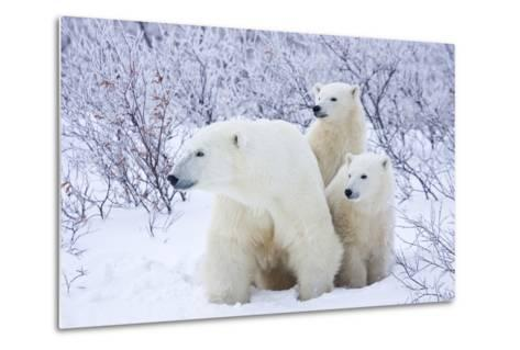 Polar Bears, Female and Two Cubs, Churchill Wildlife Area, Mb-Richard ans Susan Day-Metal Print
