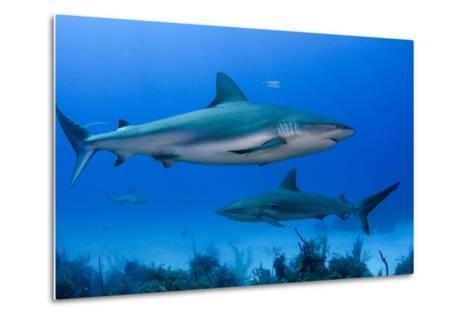 Caribbean Reef Shark, Jardines De La Reina National Park, Cuba-Pete Oxford-Metal Print