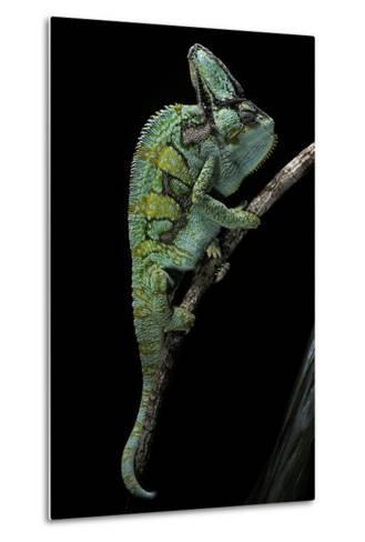 Chamaeleo Calyptratus (Veiled Chameleon)-Paul Starosta-Metal Print