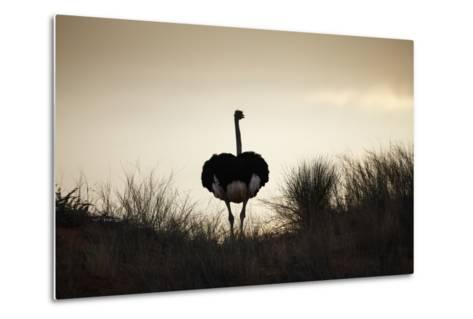 Ostrich Silhouette, South Africa-Richard Du Toit-Metal Print