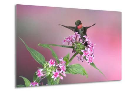 Ruby-Throated Hummingbird Male on Pink Pentas. Marion, Illinois, Usa-Richard ans Susan Day-Metal Print