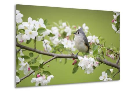 Tufted Titmouse in Crabapple Tree in Spring. Marion, Illinois, Usa-Richard ans Susan Day-Metal Print