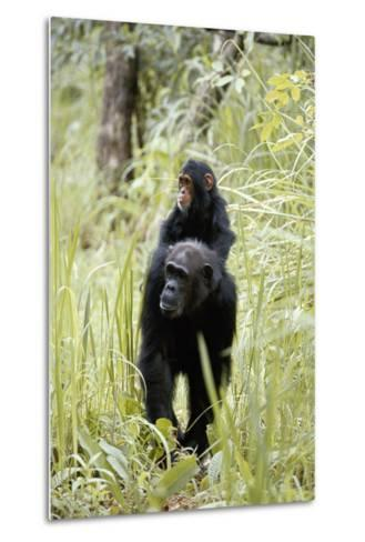 Tanzania, Gombe Stream NP, Chimpanzee with Her Baby on Her Back-Kristin Mosher-Metal Print