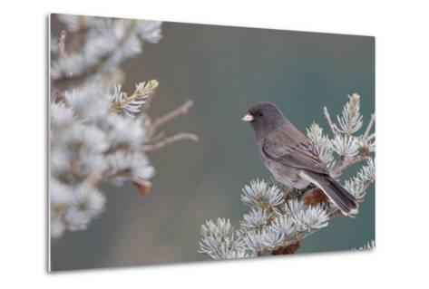 Dark-Eyed Junco in Spruce Tree in Winter Marion, Illinois, Usa-Richard ans Susan Day-Metal Print