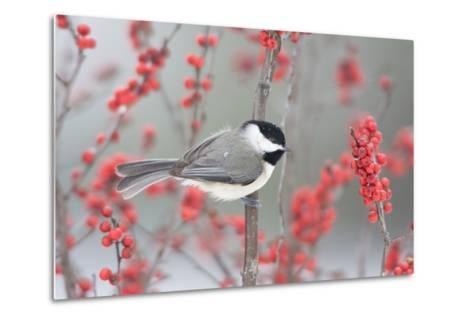 Carolina Chickadee in Common Winterberry Marion, Illinois, Usa-Richard ans Susan Day-Metal Print