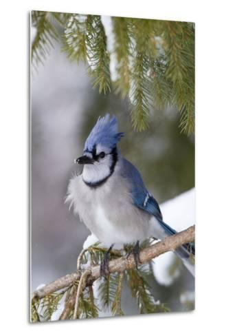 Blue Jay in Spruce Tree in Winter, Marion, Illinois, Usa-Richard ans Susan Day-Metal Print