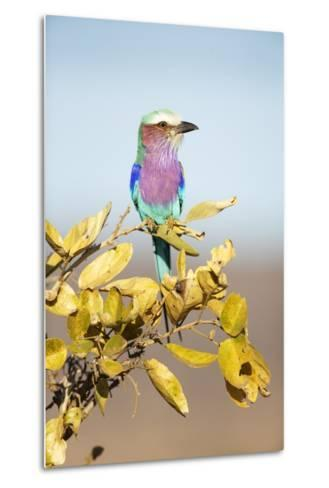 Lilac-Breasted Roller, South Africa-Richard Du Toit-Metal Print