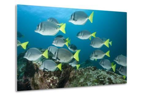 School of Yellow Tail Surgeonfish-Michele Westmorland-Metal Print