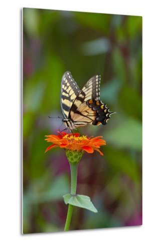 Swallowtail Butterfly-Gary Carter-Metal Print