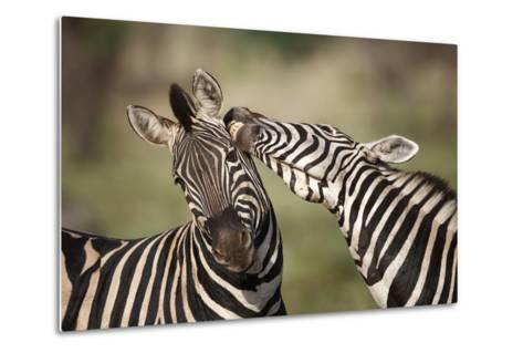 Zebras, South Africa-Richard Du Toit-Metal Print