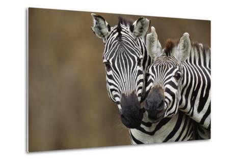 Burchell's Zebras-Momatiuk - Eastcott-Metal Print