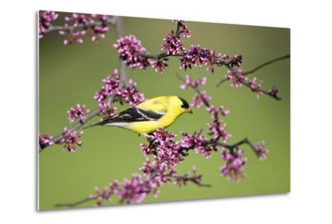 American Goldfinch Male in Eastern Redbud Tree Marion, Illinois, Usa-Richard ans Susan Day-Metal Print