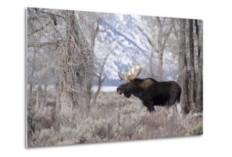 Moose in the Teton Mountains, Grand Teton NP, WYoming-Howie Garber-Metal Print