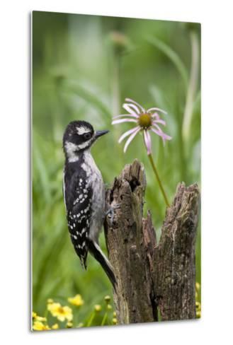 Hairy Woodpecker Female on Fence Post, Marion, Illinois, Usa-Richard ans Susan Day-Metal Print