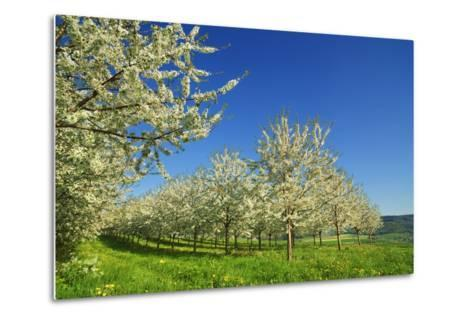 Cherry Plantation in Bloom-Frank Krahmer-Metal Print