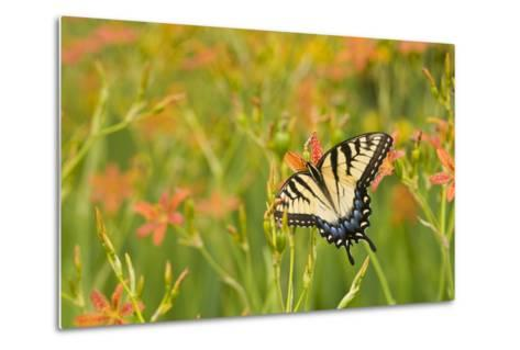 Eastern Tiger Swallowtail on Blackberry Lily, Marion Co. Il-Richard ans Susan Day-Metal Print