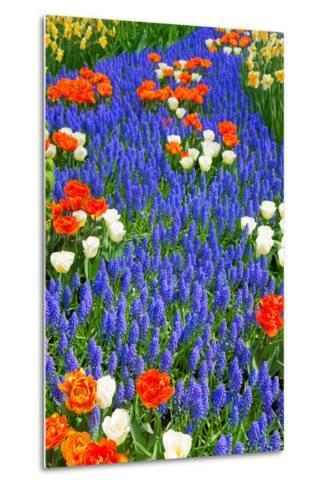 Blue River of Muscari Flowers in Holland Garden-neirfy-Metal Print