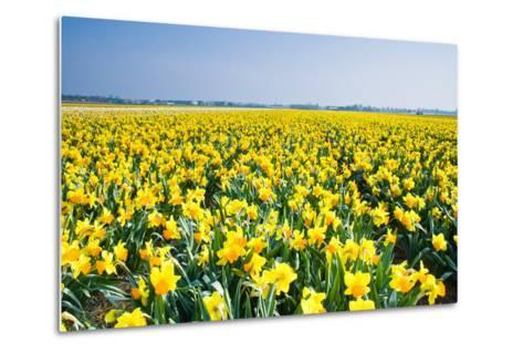 Field with Yellow Daffodils in April-Colette2-Metal Print