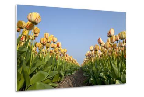 Dutch Tulip Fields in Springtime-picturepartners-Metal Print