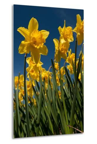 Yellow Daffodils in Front of a Blue Sky-Ivonnewierink-Metal Print