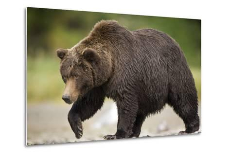 Grizzly Bear at Geographic Harbor in Katmai National Park-Paul Souders-Metal Print
