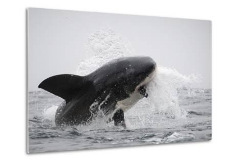 Great White Shark (Carcharodon Carcharias)-David Jenkins-Metal Print