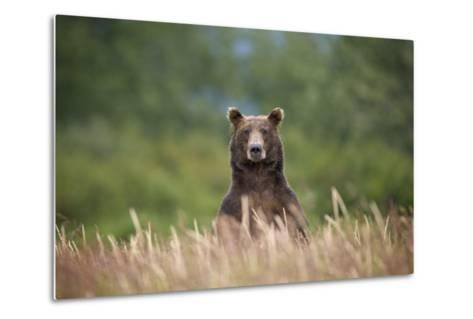 Grizzly Bear Standing over Tall Grass at Kukak Bay-Paul Souders-Metal Print