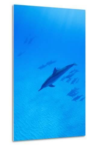 Spinner Dolphins Underwater-Paul Souders-Metal Print