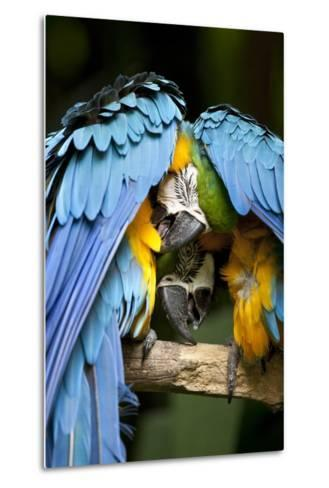 Blue-And-Gold Macaws at Zoo Ave Park-Paul Souders-Metal Print