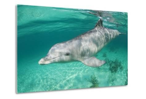 Bottlenosed Dolphin at UNEXSO Dive Site-Paul Souders-Metal Print