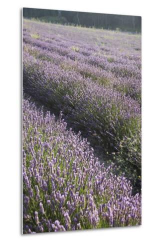 Lavender Fields, Provence, France, Europe-Angelo Cavalli-Metal Print