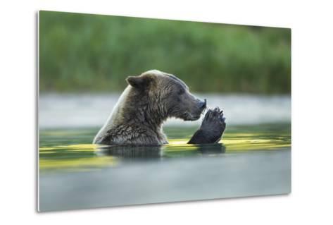 Brown Bear and Salmon, Katmai National Park, Alaska-Paul Souders-Metal Print