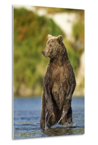 Brown Bear, Katmai National Park, Alaska-Paul Souders-Metal Print